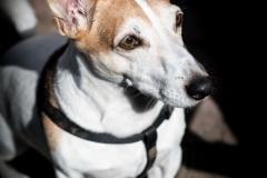 Hond Spoekie (Jack Russel)