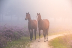 Paarden op de heide in Ede