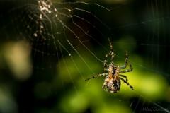 Spin maakt een web