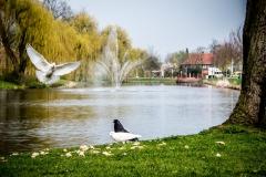 Zwart en witte duif in Culemborg